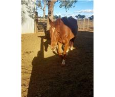 Beautiful mare Heartbreaking Sale