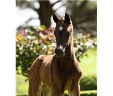 Bloomfield Verbena - Versace Filly