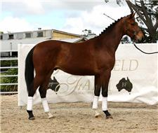 'Bloomfield Fontaire' Dressage Talent