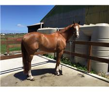 Flashy Chestnut gelding