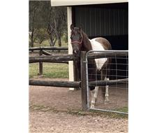 TWO YEAR OLD GELDING