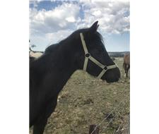 Black Arabian pony gelding