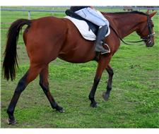 Star: Bombproof Beginners Horse