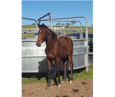 Stunning warmblood filly