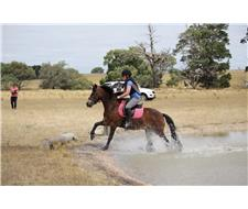 Welsh Bay gelding