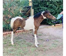 Coloured Miniature Show Gelding