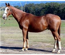 Educated Red Roan Stock Geld+ VIDEO+