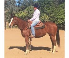 Beautiful QH Mare