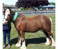 3/4 registered gypsy cob gelding
