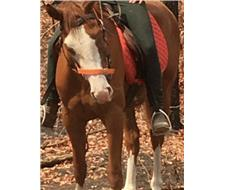 registered overo paint gelding