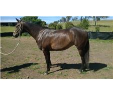 ASH 3 Yr Old Filly