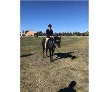 Black Riding Pony Gelding