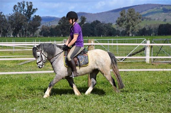 Quality Welsh A Gelding