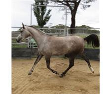 Grey Purebred Arabian Filly