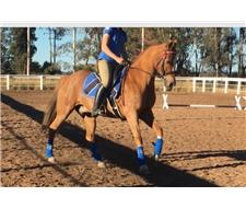 Advanced arabian riding pony gelding