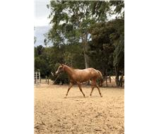 Yearling Appaloosa Filly For Sale