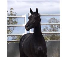 Black Riding Pony Mare