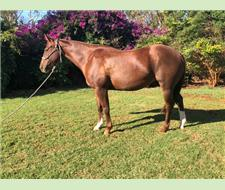 5yr old Quiet Family Mare