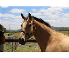 Buckskin warmblood available for lease