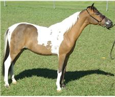2yr old pinto mini gelding