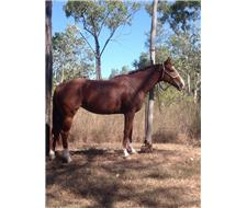 Ride or Breed 09 TB Mare