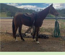 unregistered stock horse gelding