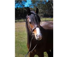Registered Welsh C Mare