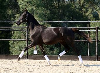 Performance Gelding by Versace