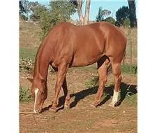 Registered Paintbred mare