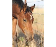 bay weanling filly