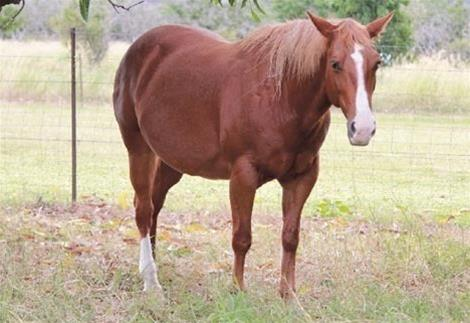 Jessies Kool Oak QH Mare