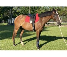 Quiet TB Gelding - Must Sell