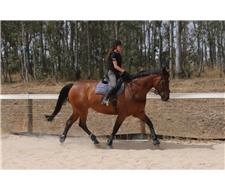 Warmblood Mare