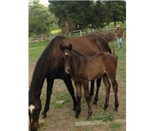 ASH Broodmare with filly at foot