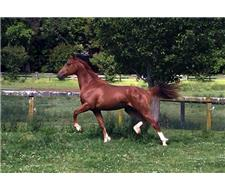 Furst Romancier Warmblood Colt