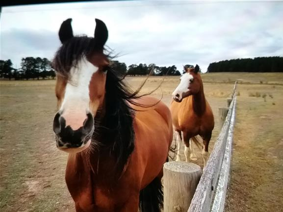 Welsh D Broodmare and Gelding