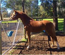 100% GERMAN RIDING PONY GELDING