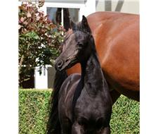 Fürst Love Black Filly