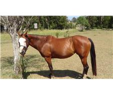 Registered Paint Mare PHAA 11086
