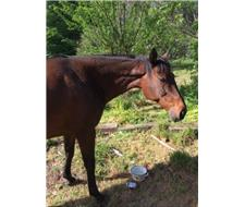 Beautiful bay thoroughbred mare