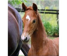 Performance Chestnut Colt