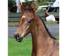 Versace Brown Colt