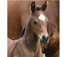 Versace x Jazz Brown Colt