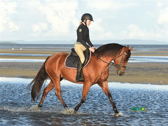 Beautiful Allrounder Mare