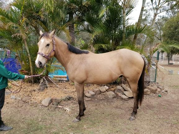 3yr old Solid paint buckskin