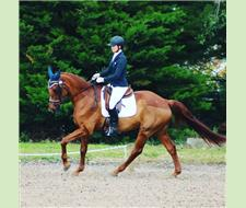Schoolmaster Ideal young riders mount