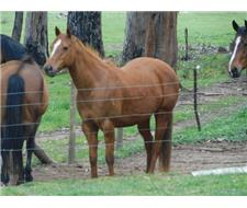 Purebred Registered QH Mare