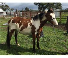 QH Brood mare or companion horse