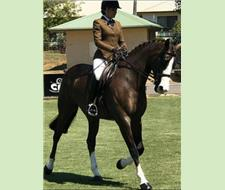 Stunning Warmblood Broodmare