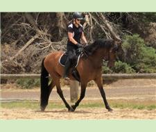 Big Bay Educated Andalusian PRE 16.3hh